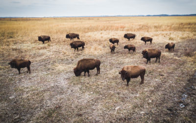 Kankakee Sands Bison are Changing It Up