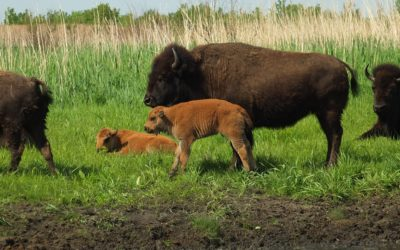 Bison now roam the prairies of Kankakee Sands in Newton County